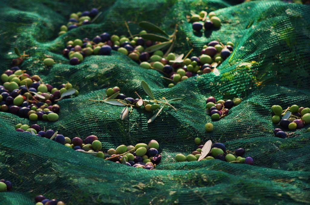 Olivenernte  03.-08.12.2020