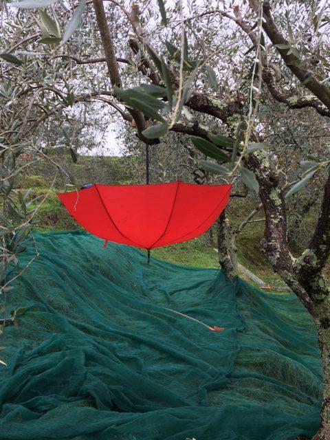 Olivenernte  21.-27.11.2021